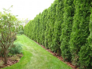 Живая изгородь, вариант 6